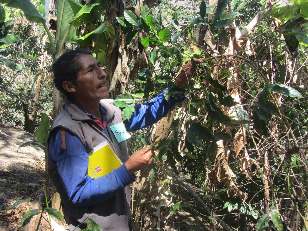 ECA El Milagro - Participante idenificando las plagas en el cafeto