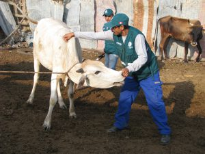 Cajamarca SENASA Vacunación