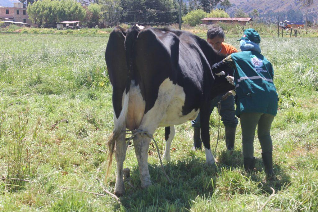 SENASA Cajamarca - Vacunación - Ántrax