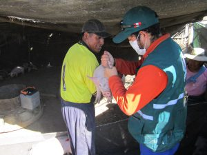 Vacunación Peste Porcina en Tacna