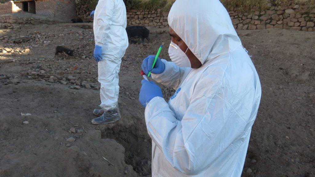Los especialistas del SENASA tomando muestras al porcino 03