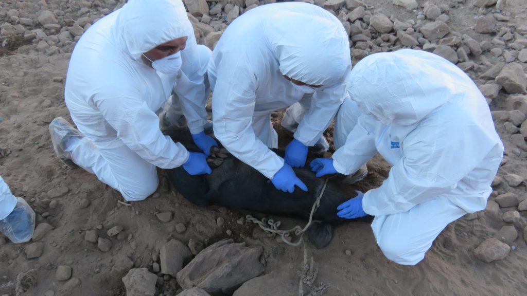 Los especialistas del SENASA tomando muestras al porcino 04