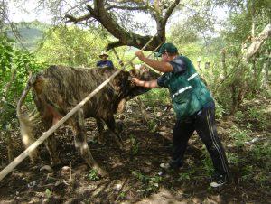 Senasa Cajamarca vacunacion Fiebre Aftosa
