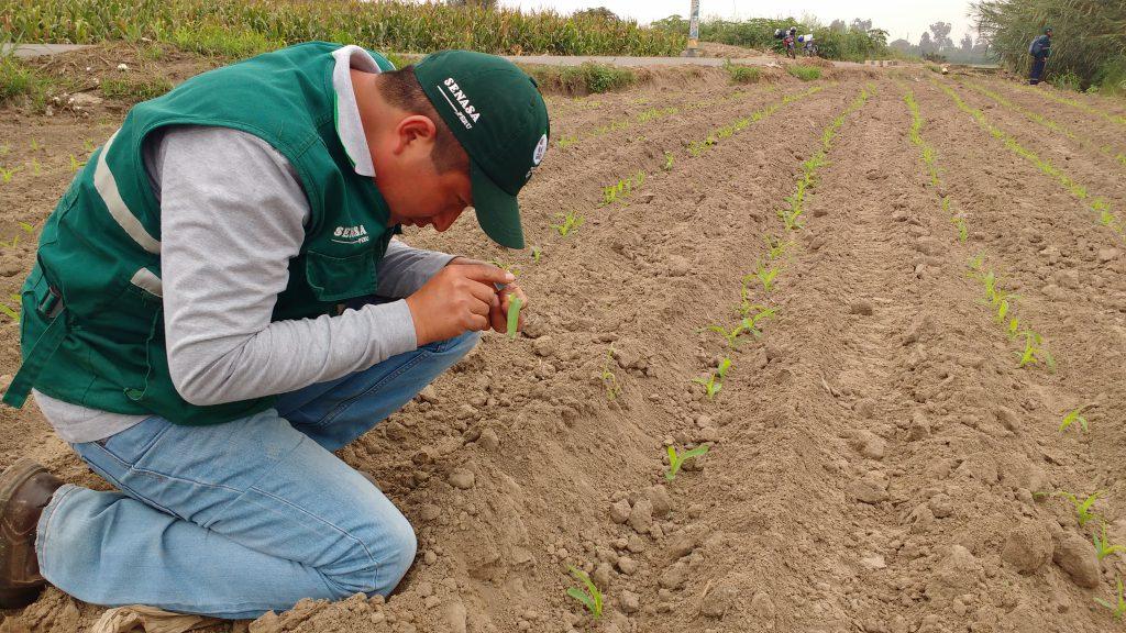 Evaluación de plagas en el cultivo de maíz