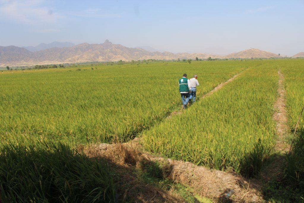 Cultivo de Arroz - SENASA Lambayeque