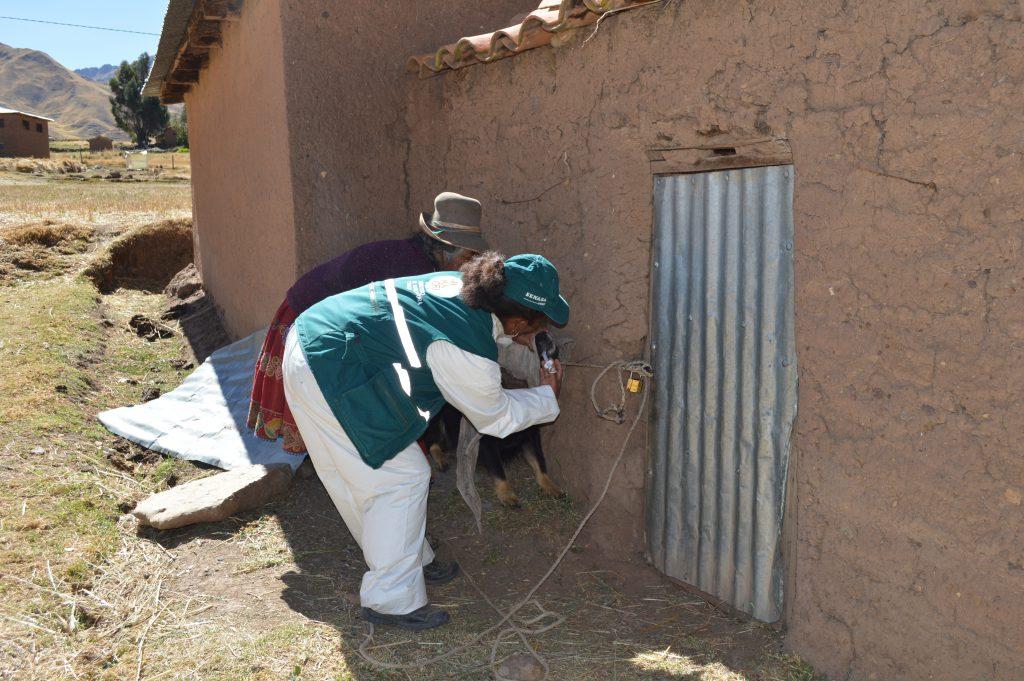 SENASA Cusco - Desparasitación