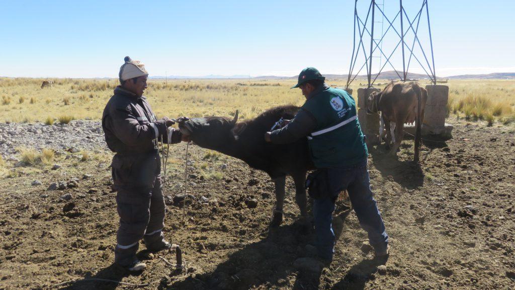 El SENASA realiza la campaña de vacunación en las comunidades alto andinas de la Región Puno 1