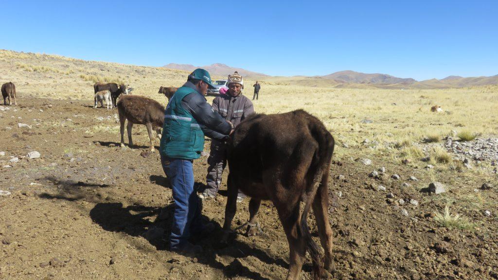 El SENASA realiza la campaña de vacunación en las comunidades alto andinas de la Región Puno 3