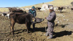 El SENASA realiza la campaña de vacunación en las comunidades alto andinas de la Región Puno 4