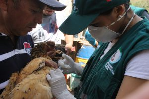 SENASA Cajamarca - Vacunación - Enfermedad de Newcastle