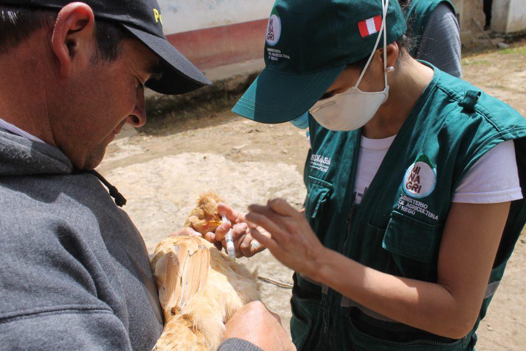 SENASA Cajamarca - Vacunación contra enfermedad de Newcastle