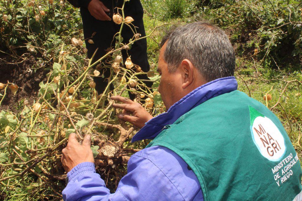 SENASA Lambayeque - Cultivo de Aguaymanto