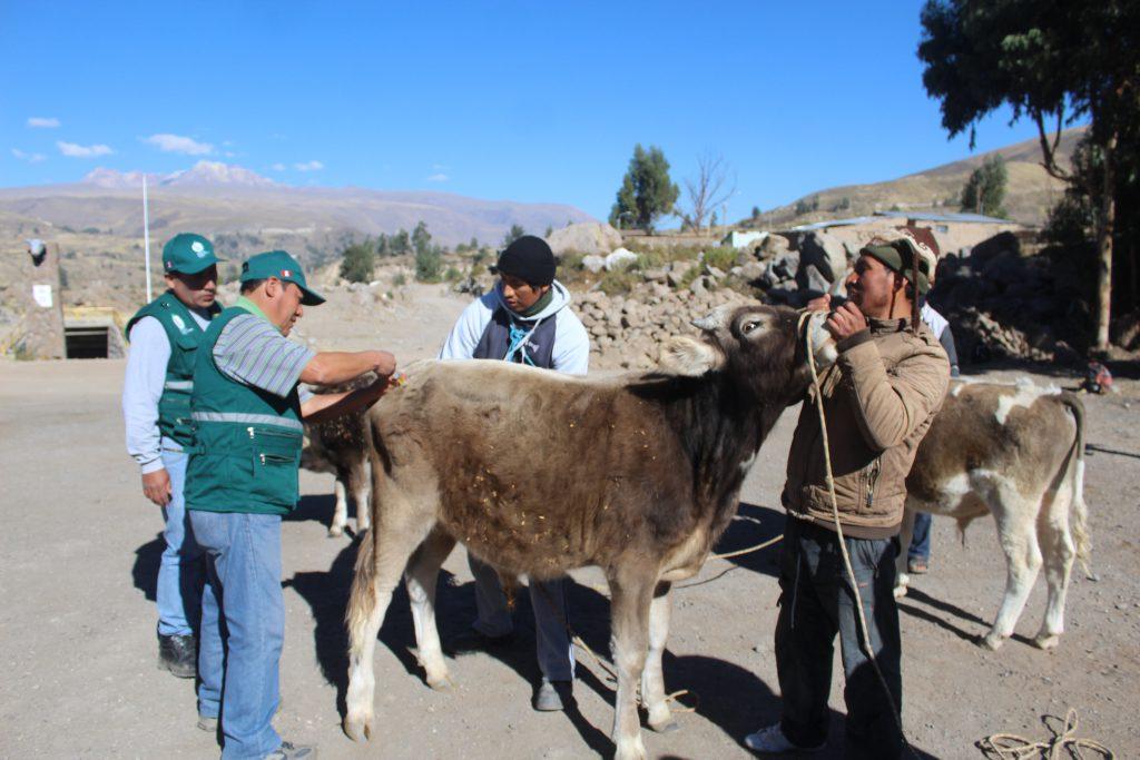Atención a ganado en Caylloma - SENASA