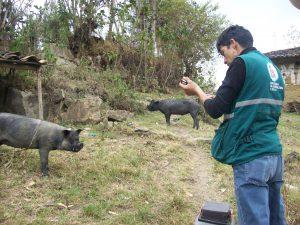 Vacunación contra la peste porcina clásica