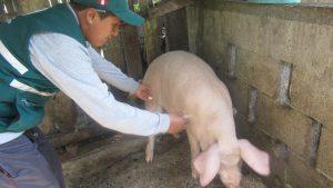 Vacunación de porcinos