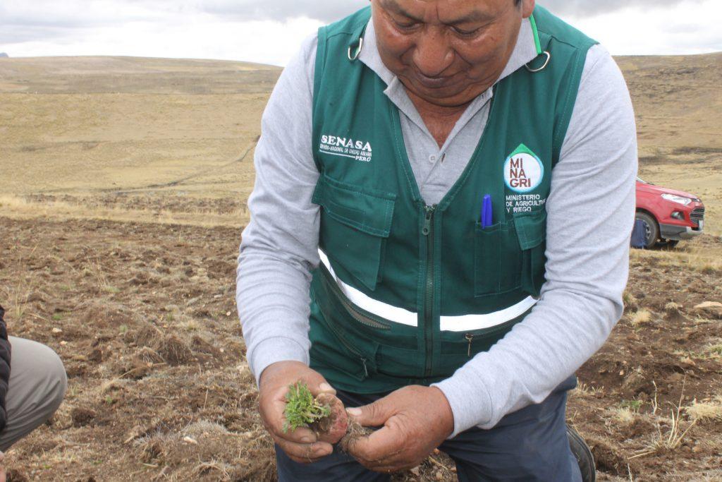 Evaluación de plagas en cultivo de maca