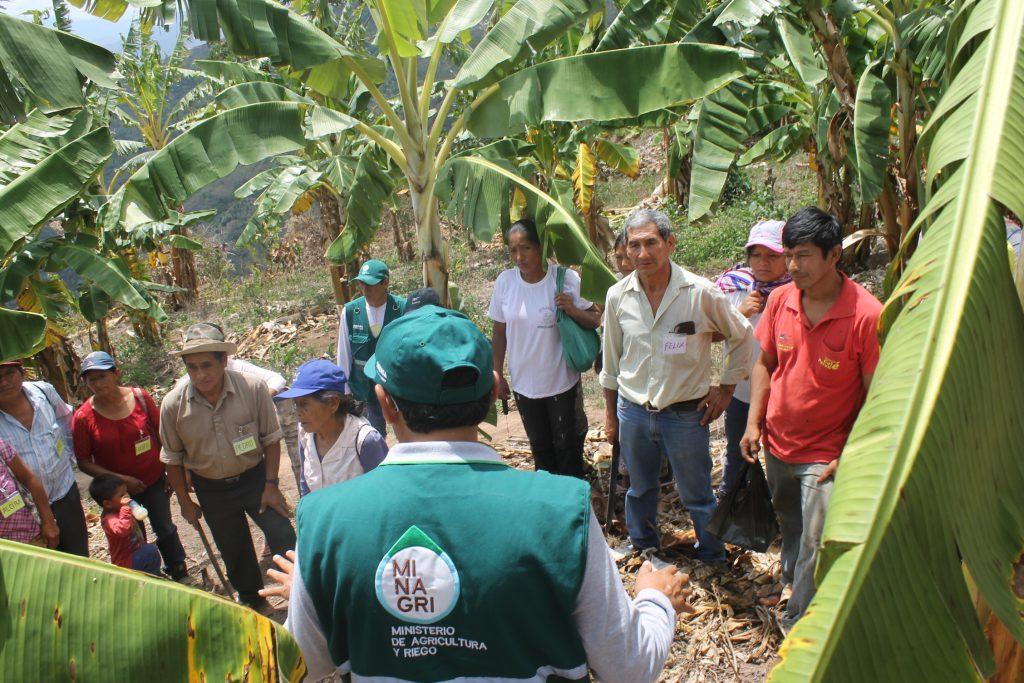 MIP Plátano en Junín - Senasa
