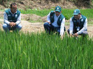 Senasa - Supervisión del cultivo de arroz en Tumbes