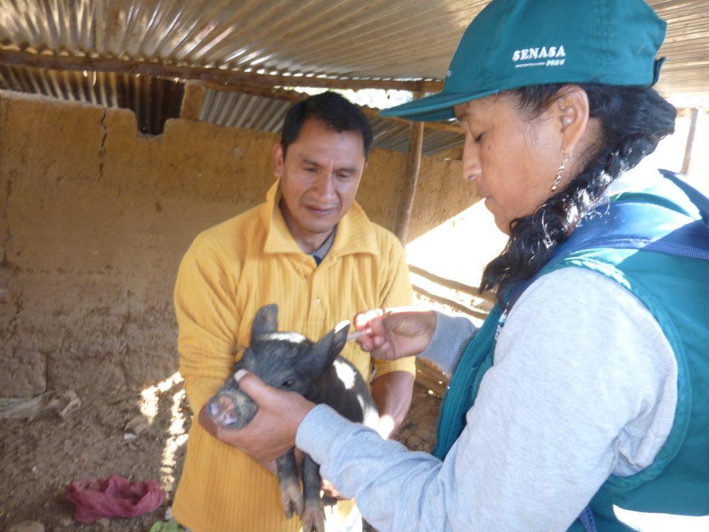 Senasa - Vacunación de Porcinos en Huánuco