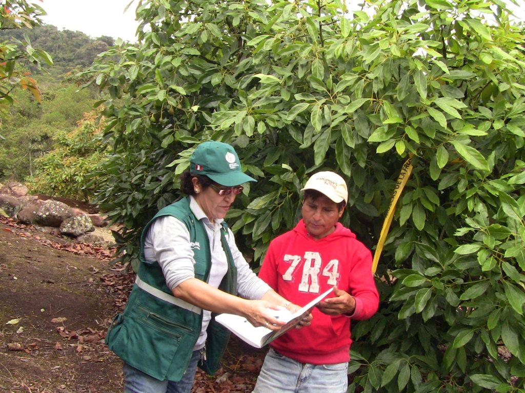 Vigilancia Fitosanitaria - Fundo Las Palmeras - Paltas Hass - Registrando datos del trabajo efectuado