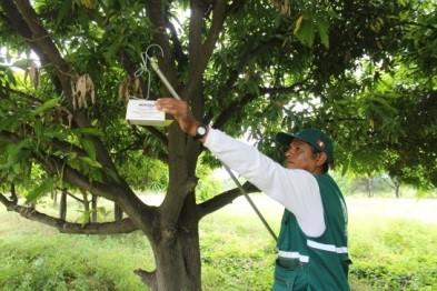 Senasa - control integrado de moscas de la fruta