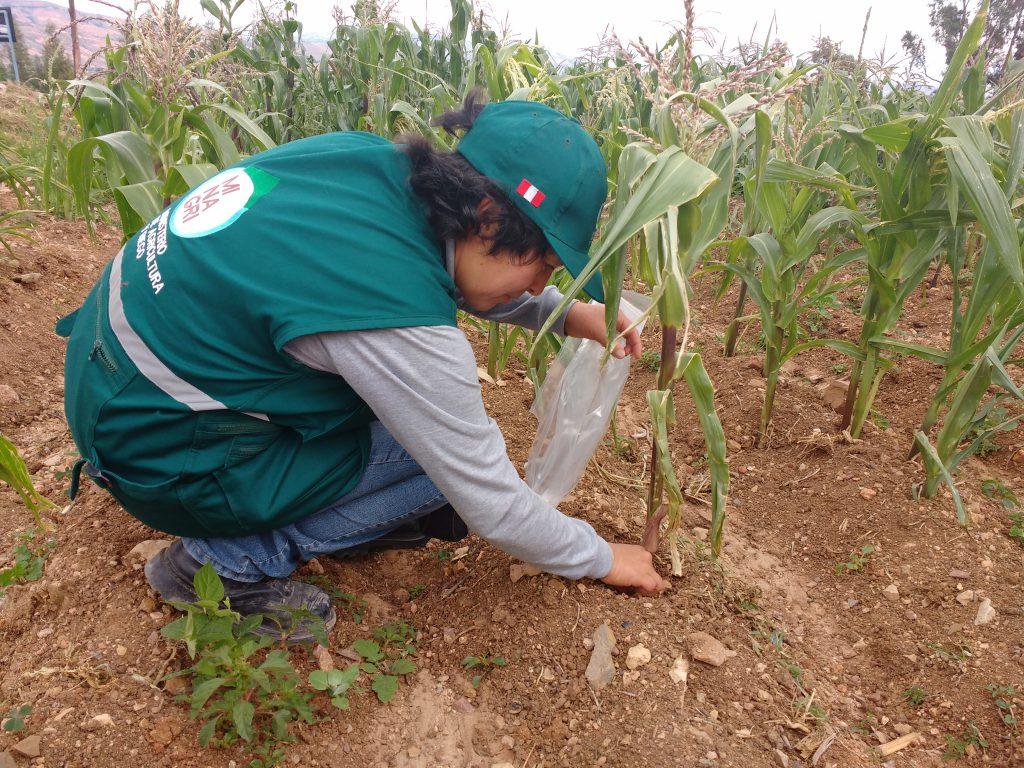 Vigilancia fitosanitaria del Senasa en el cultivo de maíz