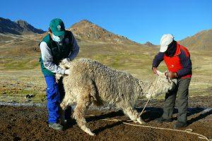 Senasa refuerza vigilancia zoosanitaria de alpacas en Huancavelica