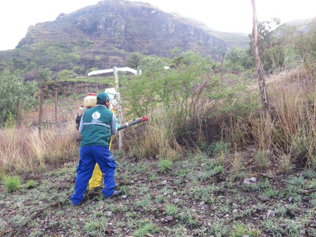 Senasa mantiene bajo control plaga de langostas en Cusco