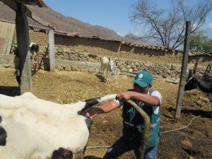 Senasa realiza muestreo serológico de ganado bovino