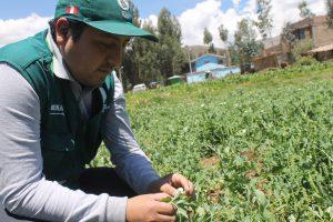SENASA realiza inspección fitosanitaria en cultivos de arveja