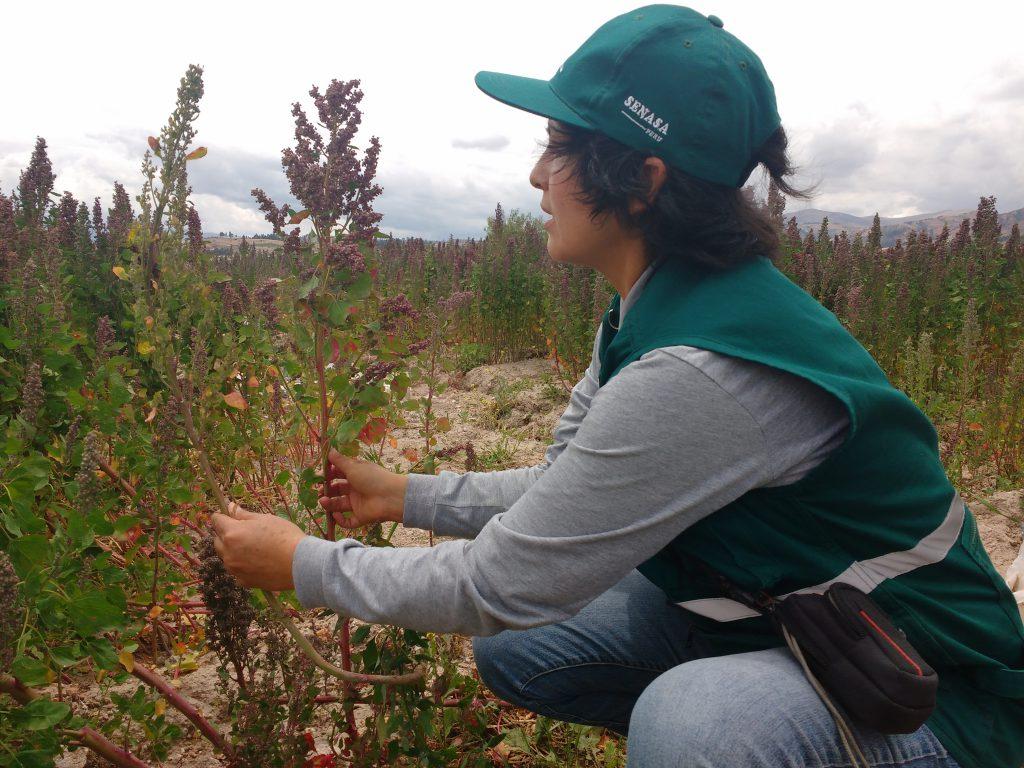 Senasa intensifica vigilancia fitosanitaria en cultivos de quinua