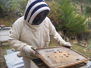 Senasa Cajamarca ejecuta medidas para controlar enfermedades apícolas