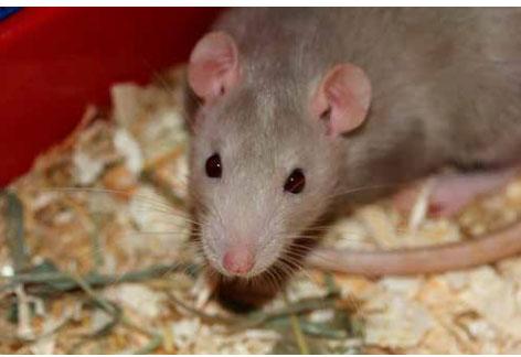 Síntomas y tratamiento de la Leptospirosis en animales
