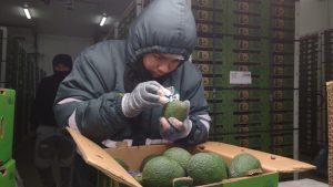 Ica logró exportar más 36 mil toneladas de palta