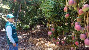Productores de mango de Cajamarca exportan mango con apoyo del Senasa