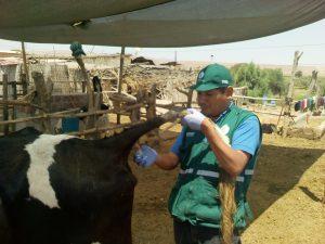 Senasa: Vigilancia epidemiológica pasiva para determinar enfermedades en ganado bovino