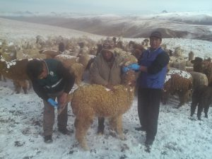 Senasa - Huancavelica - La sarna, amenaza de la producción alpaquera