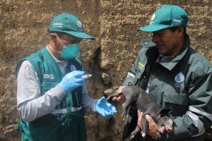Control de Peste Porcina Clásica con implementación de acciones sanitarias - Senasa