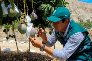Senasa - Certificación de lugares de producción de Mango Kent en Áncash