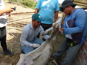 Senasa - Atención de ocurrencia epidemiológica de ganado caprino en Tumbes