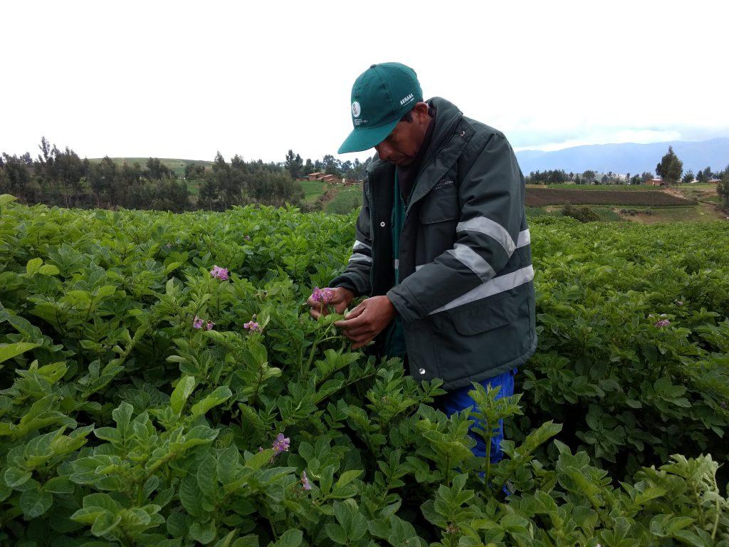 Senasa - Monitoreo de plagas de importancia económica en el cultivo de papa