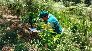Senasa - Ojo de gallo, una enfermedad que afecta las plantaciones de café