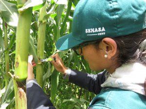 Senasa - Evaluación de plagas en el cultivo de maíz en el Cusco