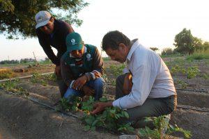 Senasa potencia cultivo de papa a través de Escuelas de Campo