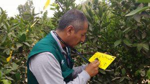 Vigilancia de plagas en siete mil hectáreas de cítricos en el distrito de Sayán