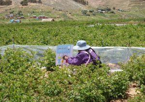 Senasa - Productores de Ticaparque fortalecen habilidades en el MIP Papa