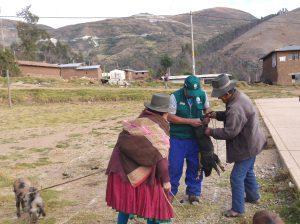 Senasa - Vacunan más de 5 mil cerdos en Apurímac durante enero