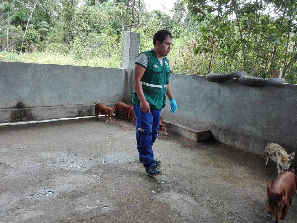Senasa - Continúa vacunación de ganado porcino en Satipo y Chanchamayo