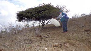 Senasa continúa monitoreo de langosta por incremento de lluvias