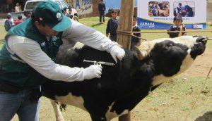 Senasa - Campaña de vacunación contra carbunco sintomático en la sierra de La Libertad